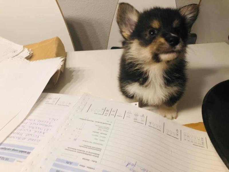 Koira työpöydällä